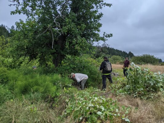 Volunteers cutting back a large thicket of Himalayan Blackberry around an old apple tree.